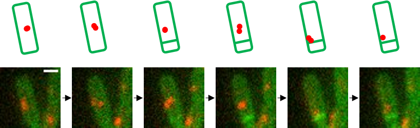 Spore formation microscopy